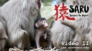 Saru-vidéo-11-Les-nouveaux-nés
