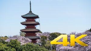 The-Cherry-Blossoms-of-Ikegami-Honmonji-Tokyo-池上本門寺-4K-Ultra-HD